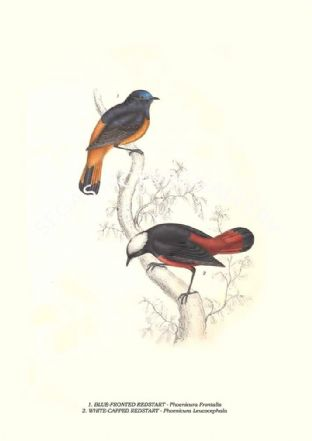 BLUE-FRONTED REDSTART - Phoenicura Frontalis, WHITE-CAPPED REDSTART  - Phoenicura Leucocephala